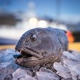 Icelandic monkfish on Ice